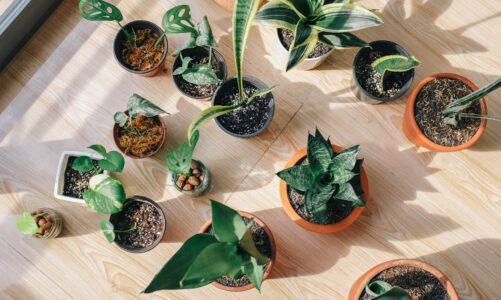 Sinaasappelplant, ook in Nederland